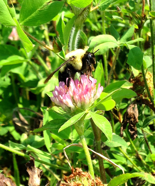 Bumblebees love Red Clover, even more than Honeybees. I took this pic when walking across a field, and I was dodging bees left and right!