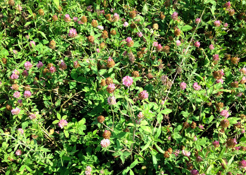 I cut across a vacant lot/field the other day when I was getting new tires on my van. The lot was covered in naturalized Red Clover.