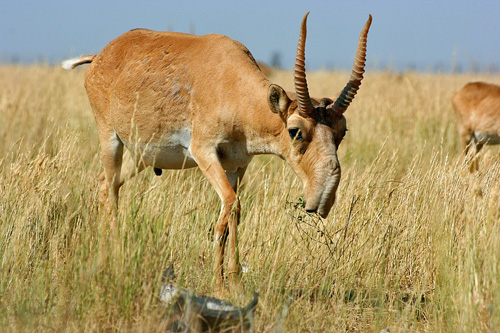The Saiga Antelope once roamed North America... and it is still alive!