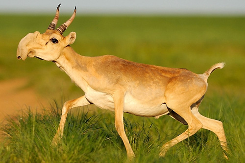 The Saiga Antelope is still alive!