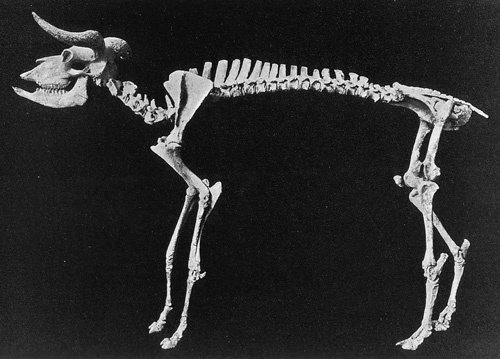 Shrub-Ox skeleton.