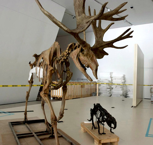 Stag-Moose skeleton.