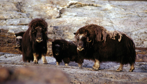 Woodland Musk Ox probably had a strong resemblance to the extant Tundra Muskox.