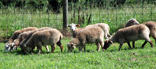 Gulf Coast Native Sheep
