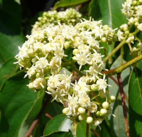 The flowers are small, but numerous and fragrant.
