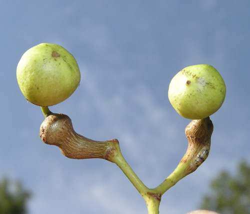 As the fruit matures, the fruit stalk starts to swell and twist.