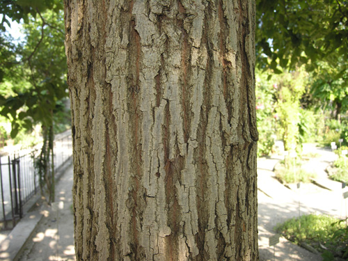Bark of the Raisin Tree