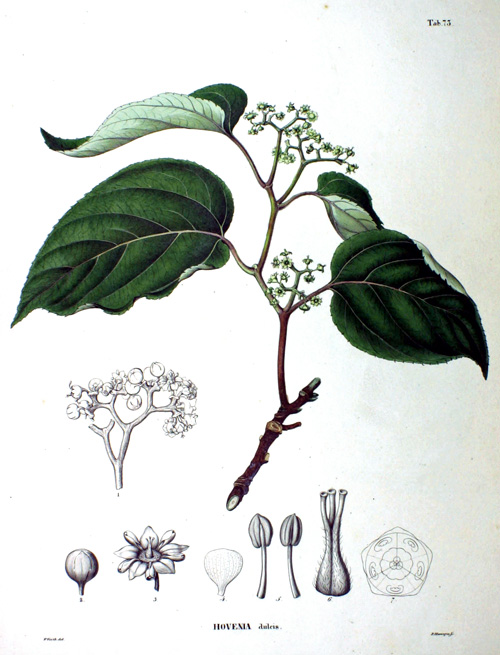 The Raisin Tree (Holvenia dulcis)