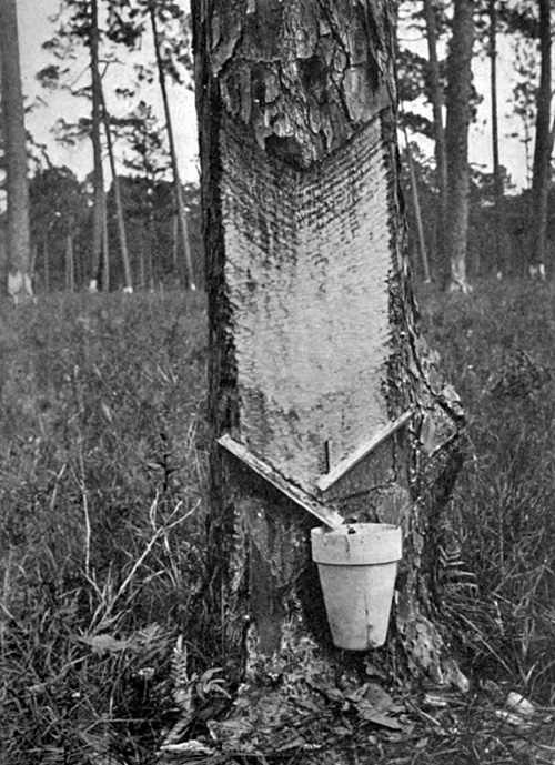 Another historic photo from Florida's pine-tapping turpentine industry.