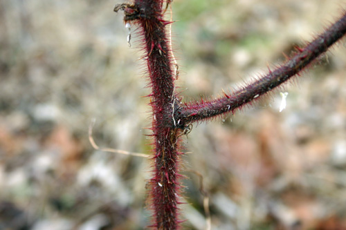 Wineberry stems have numerous, small thorns.