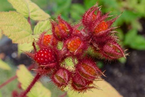 Wineberry fruits developing.