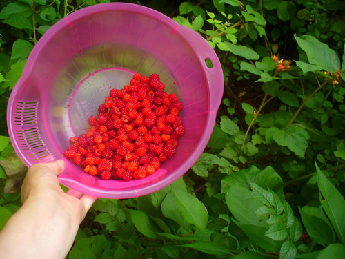 Harvesting Wineberries