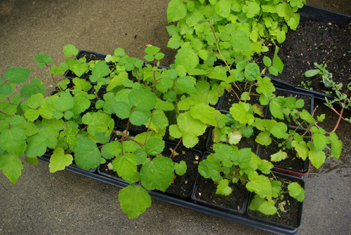 Wineberry seedlings
