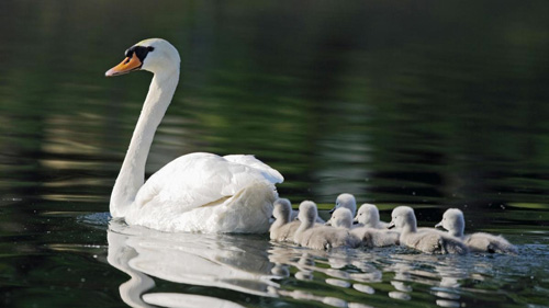 Mute Swan with cygnets.