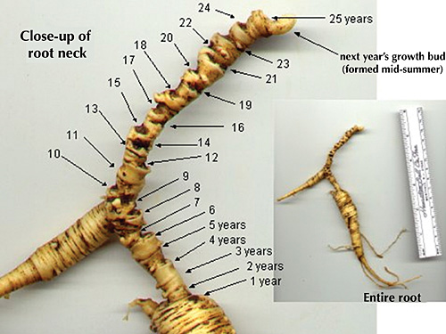 Determining the age of a Ginseng root.