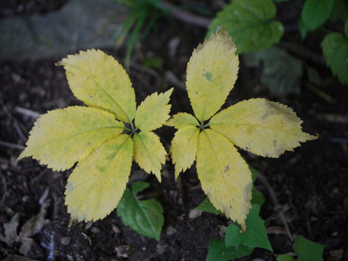 Ginseng in Autumn(Click on the photo for Angelyn Whitmeyer's site with great photos and information on plant identification)