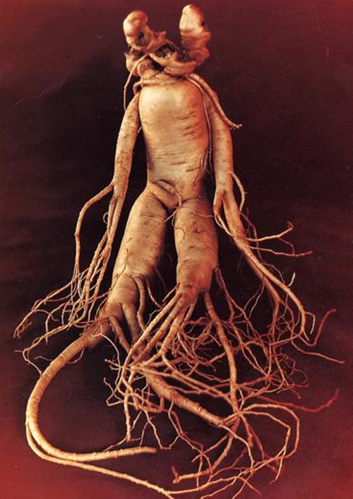 A high-value, human-shaped root.