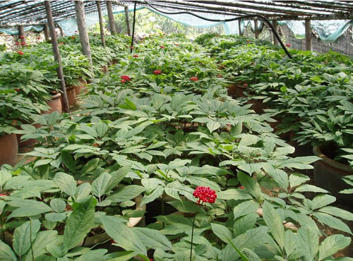 Commercial Ginseng operation.