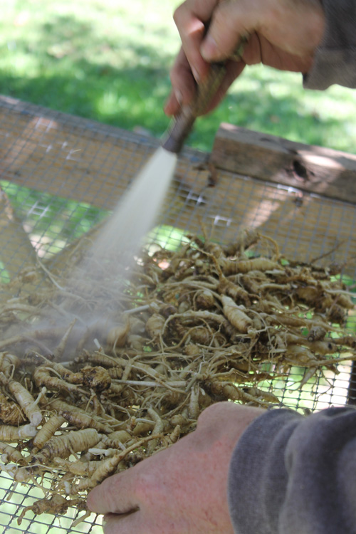 Washing freshly harvested Ginseng roots.