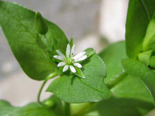 Chickweed is another popular Dynamic Accumulator with many additional benefits.