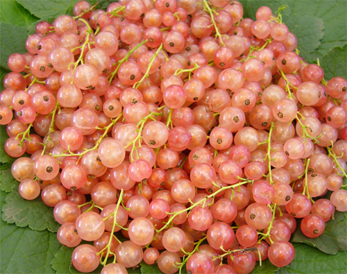 "A pink or ""Champagne"" Currant"