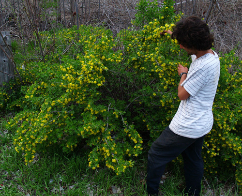 The Clove or Buffalo Currant has clove-scented flowers! (Ribes