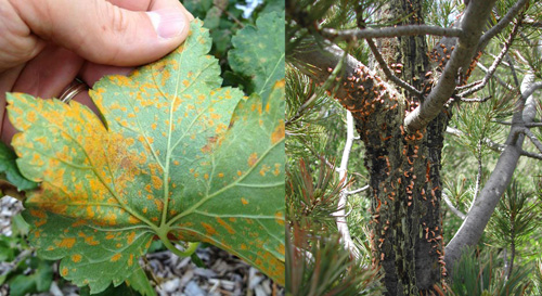 Whit Pine Blister Rust on Currants (left) and Pines (right).