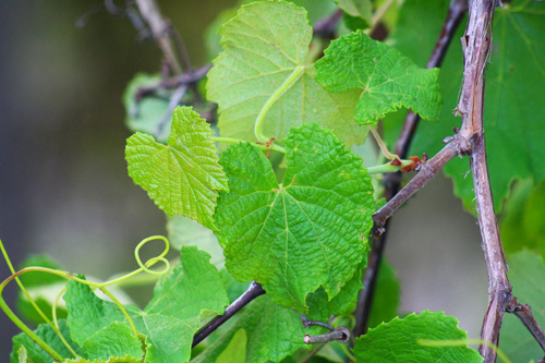 Muscadine leaves can be eaten like European grape leaves.