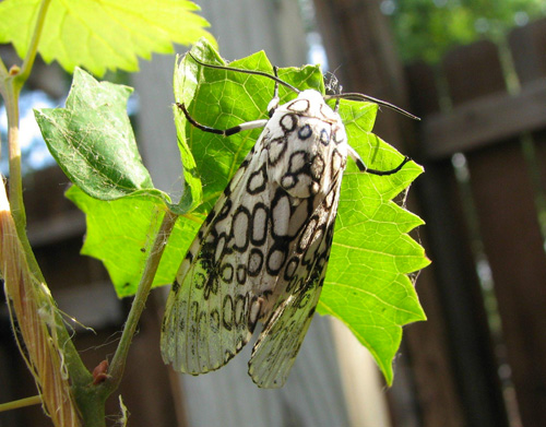 Many animals enjoy Muscadines as much as humans! Here is a Giant Leopard Moth ( Hypercompe scribonia).