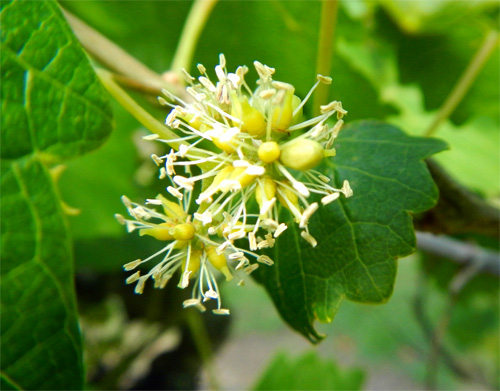 Muscadine flowers are pollinated via wind and insects.