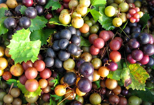 Permaculture Plants: Muscadines