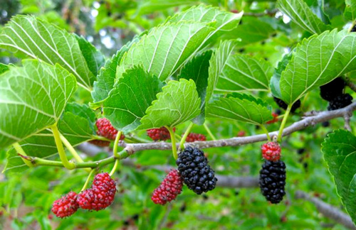 There are a number of Mulberry species and many varieties and cultivars.
