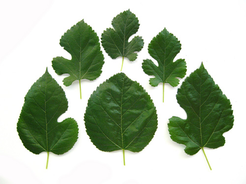 Mulberry leaves come in various shapes and sizes.