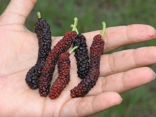 Pakistan Mulberries are huge!
