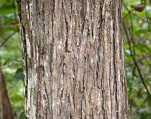 Mature Mulberry trunk.