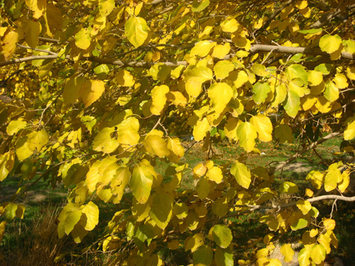 Mulberry tree in Autumn.