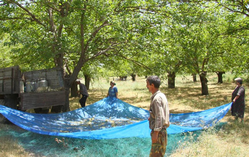 Harvesting Mulberries in a previous minefield in Azerbaijan.