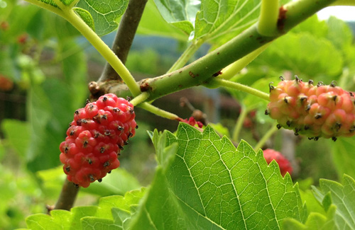 Immature Red Mulberry fruit on our trees.