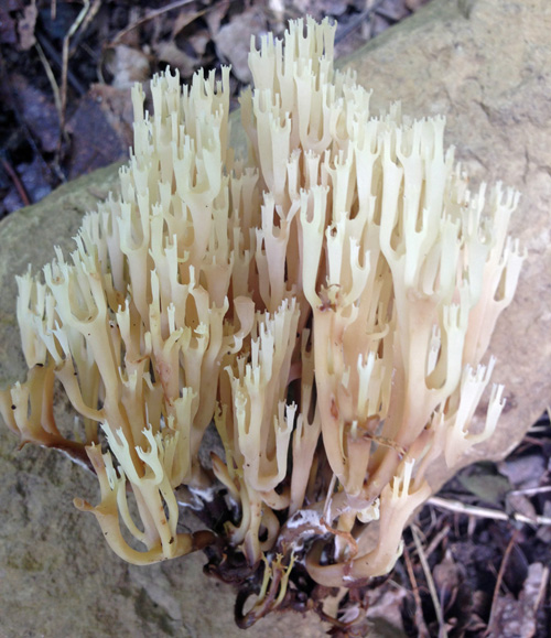 The Crown-Tipped Coral Fungus (Artomyces pyxidatus or Clavicorona pyxidata) is a delicious and very uncommon edible mushroom!