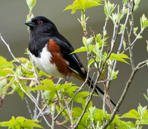 An Eastern Towhee (Pipilo erythrophthalmus) - also not my photo