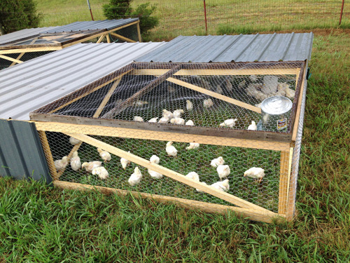 We run Salatin-style chicken tractors.