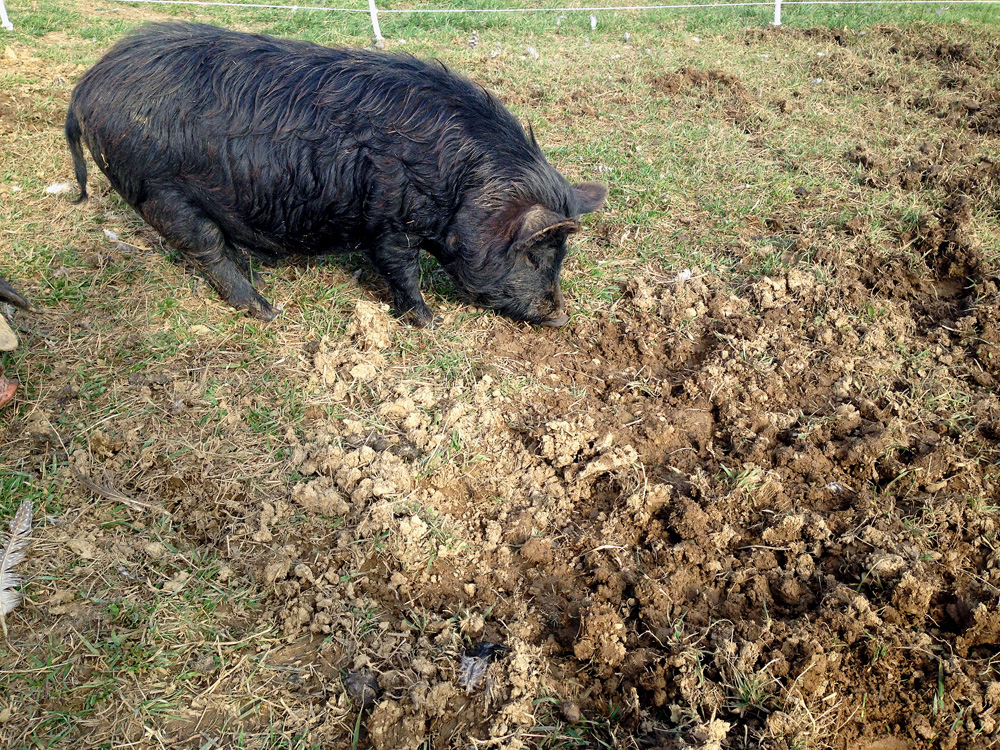 The pigs do a fantastic job of really tearing up the grass.