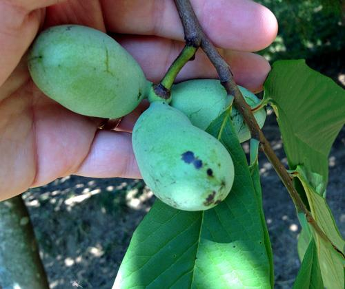 Pawpaw tree!