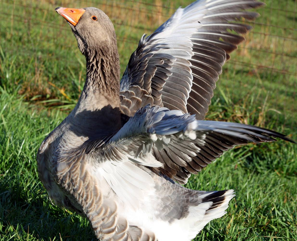 We also have a small flock of Large Dewlap Toulouse Geese.