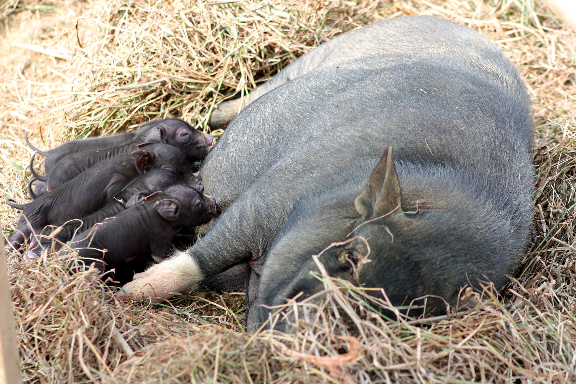 Our piglets nursing well.