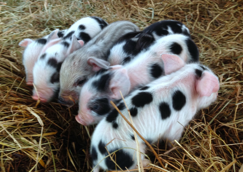 These are our most recent piglets.