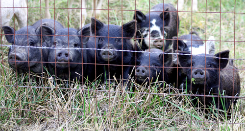 Here is a photo of our first pigs on the farm.