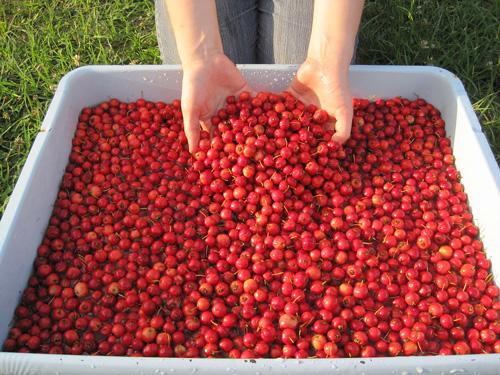 Mayhaw harvest!