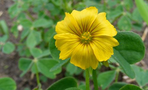 Flower is uncommon, but may open the door to new, more cold-tolerant varieties.