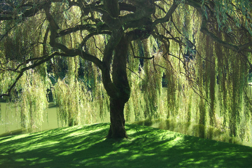 Willows are commonly used as ornamentals... it is easy to see why.